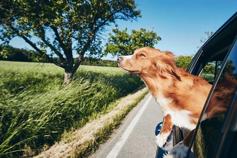 Cinture di sicurezza per cani: è legale?